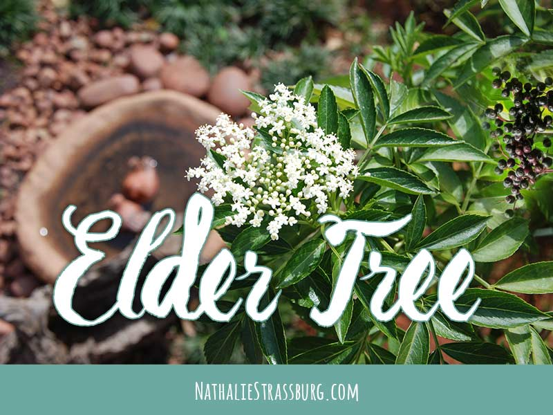 Elder Tree Growing Guide