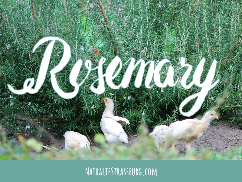 Rosemary Growing Guide