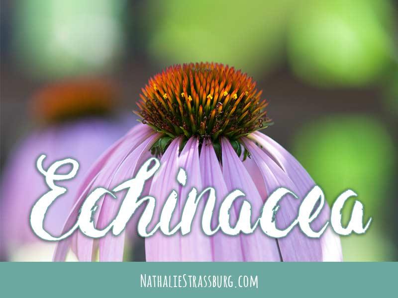 Echinacea Growing Guide