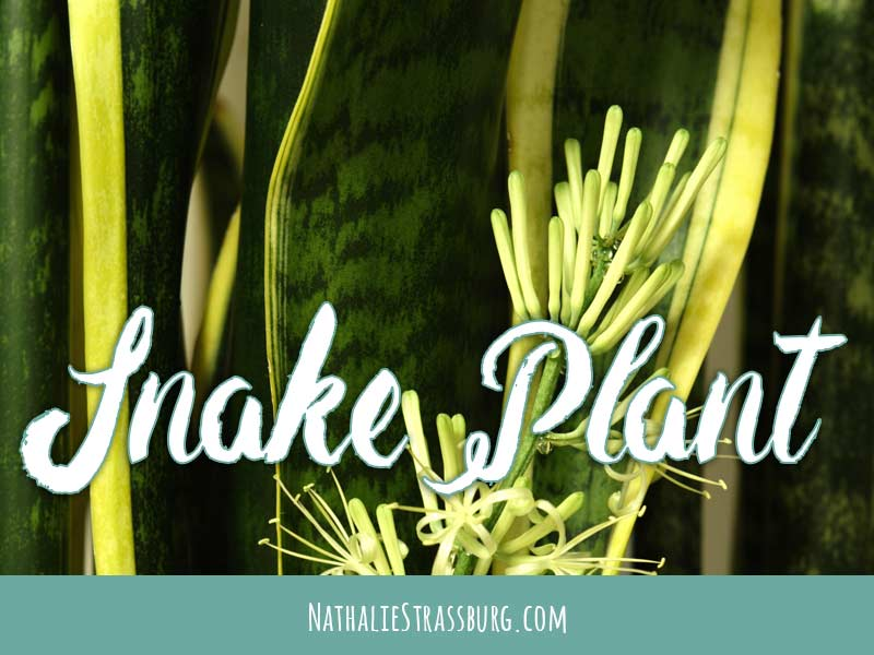Snake Plant Growing Guide